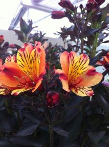 Alstroemeria Indian Summer_t&m (3)