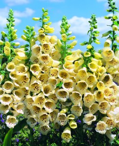 Digitalis Primrose Carousel_FOX2404CPOS_TM