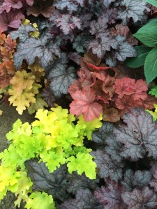 Heuchera in every colour!