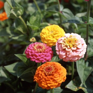 Zinnia 'Cupid Mixed'