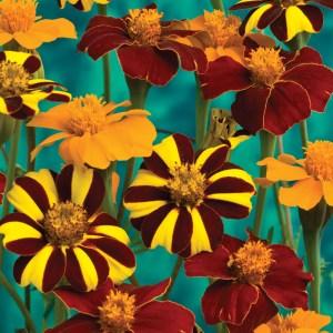 Marigold 'Pots of Gold'