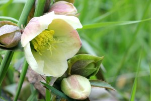 Hellebore (The Lenten Rose)