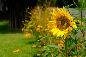 Helianthus annuus (The Sunflower)
