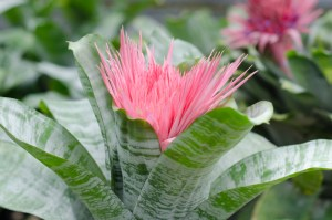 Urn Plant (Aechmea fasciata)