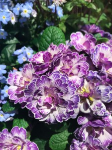 Primrose 'Belarina Lively Lilac'