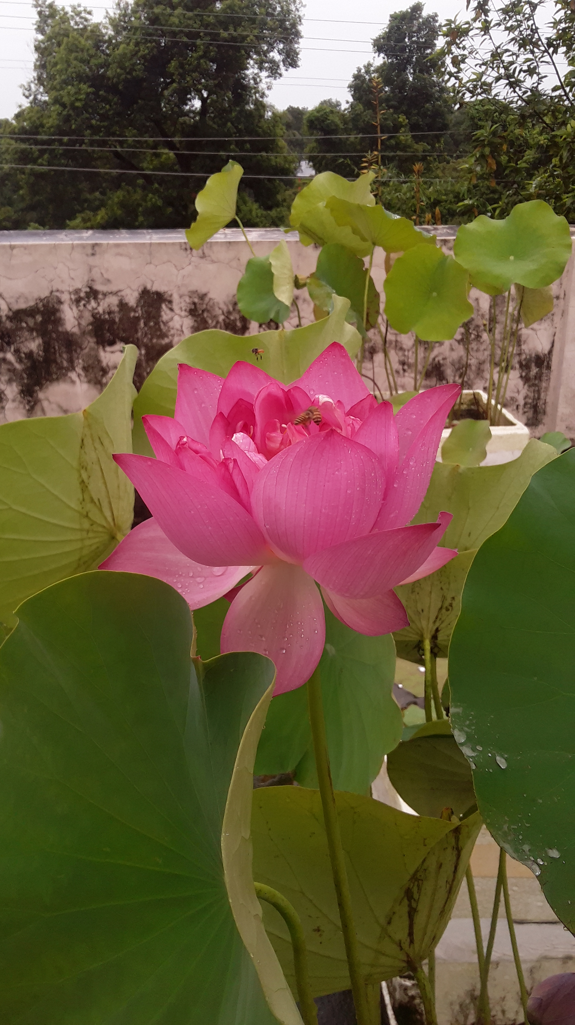 How one man in india is bringing the beauty of the lotus flower to how one man in india is bringing the beauty of the lotus flower to home gardens michael perry mr plant geek izmirmasajfo
