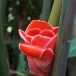 Flowers of Bali