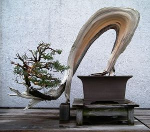 Zen Garden Bonsai Californian Juniper