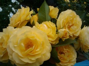 5 tips for growing roses - Julia Childs Roses