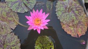 Water Lilies: My Hybrid N' Arryan