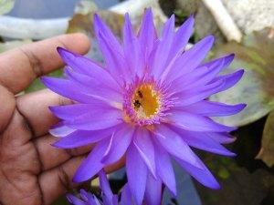 Water Lilies: My Hybrid N' Swayam