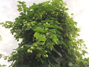 Grow your own craft beer: Hops