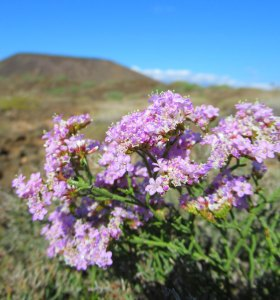 Unusual Plants - A rare sea lavender that grows only on one tiny island in the Atlantic