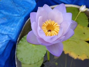 The secret world of the blue water lilies