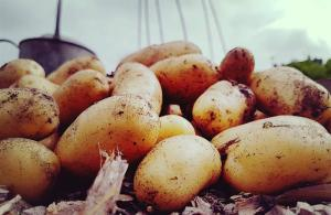 5 benefits of allotments: Potatoes from the allotment