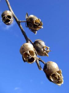 Weird Plants: Antirrhinum Majus