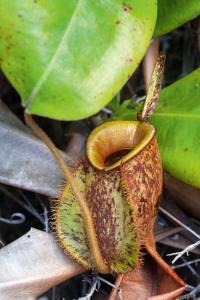 Weird Plants: Nepenthes Ampullaria