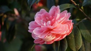 Gardening jobs: Deadhead camellias