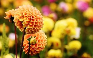 Gardening jobs: Take dahlia cuttings