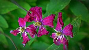 Gardening jobs for August: Clematis wilt