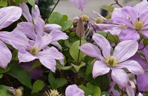 Gardening jobs February: Prune clematis