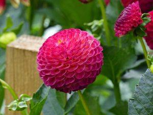Gardening jobs February: Pot up dahlia tubers