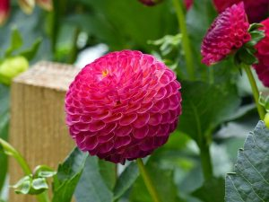 Gardening jobs February: Pot up dahlia tubers
