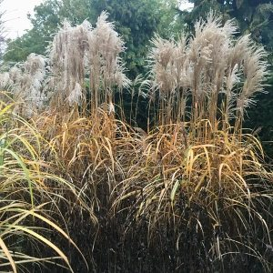 Cut back deciduous grasses