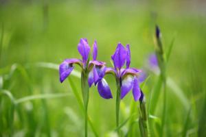 Gardening jobs for July: Divide irises