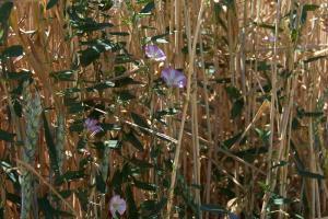 Gardening jobs for June: Tackle bindweed