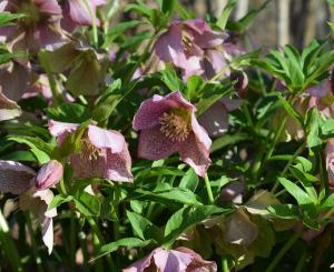 Gardening jobs for June: Collect hellebore seeds