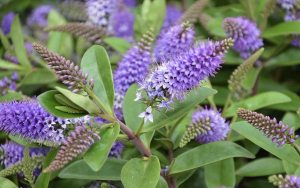 Gardening jobs: Prune late summer flowering shrubs