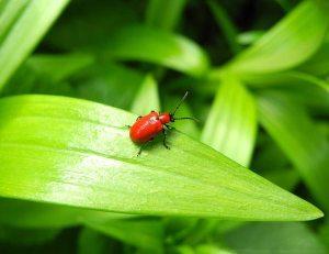 Gardening jobs: Lily beetle