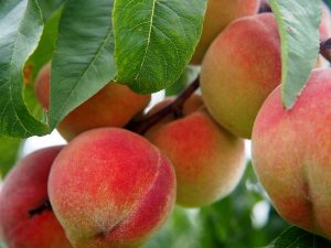 Gardening jobs: Pollinate peaches