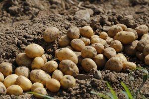 Gardening jobs: Plant early potatoes