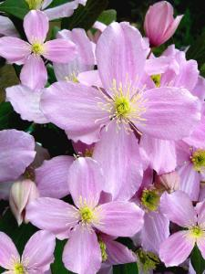 Gardening jobs for May: Cut back Clematis Montana after flowering