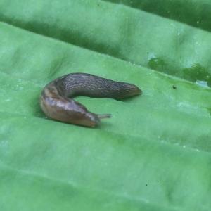 Gardening jobs for May: Slugs