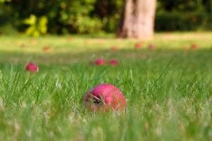 Gardening jobs for November: Collect fallen fruit
