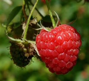 Gardening jobs for November: Plant raspberry canes