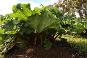 Gardening jobs for November: Divide rhubarb
