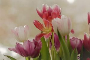 Gardening jobs for November: Plant tulip bulbs