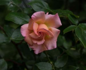 Gardening jobs for October: Prune roses