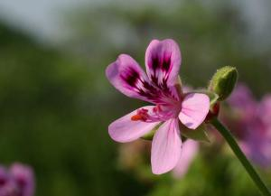 Gardening jobs for September: Take pelargonium cuttings