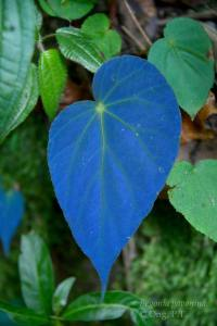 Plant Evolution: Begonia pavonina