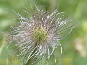 Plant Evolution: Pulsatilla