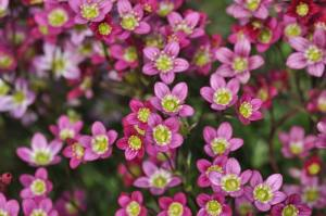 Plant Evolution: Saxifrage