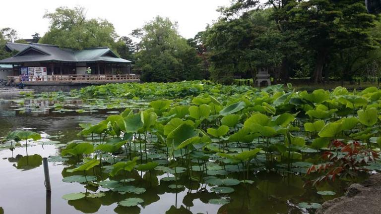 Japanese Plants: Lotus