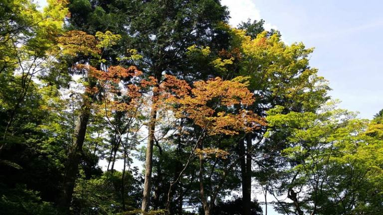 Japanese Plants: Maple