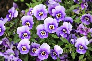 Pansies: Gender and Gardening