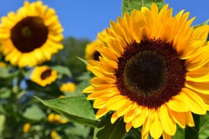 Plants for kids: Sunflowers